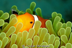 Clownfish by Oscar Miralpeix 